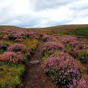 Purple heather on Haworth Moor