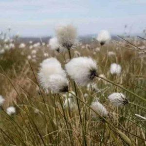 Wild cotton grass